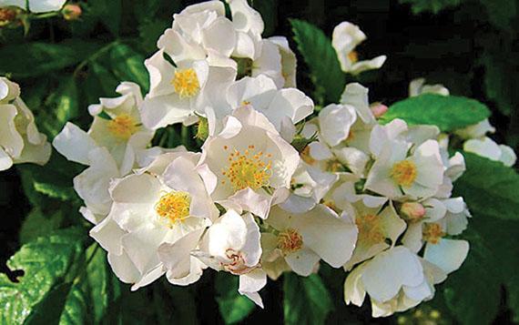 The Multiflora Rose in bloom