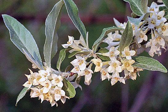 Autumn Olive plant