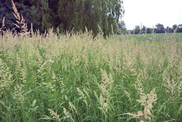 Reed canary grass is aggressive