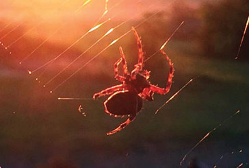 Spider sunset