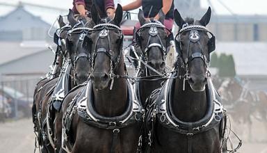 Draft horses in fair