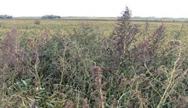 Waterhemp growing in soybean field